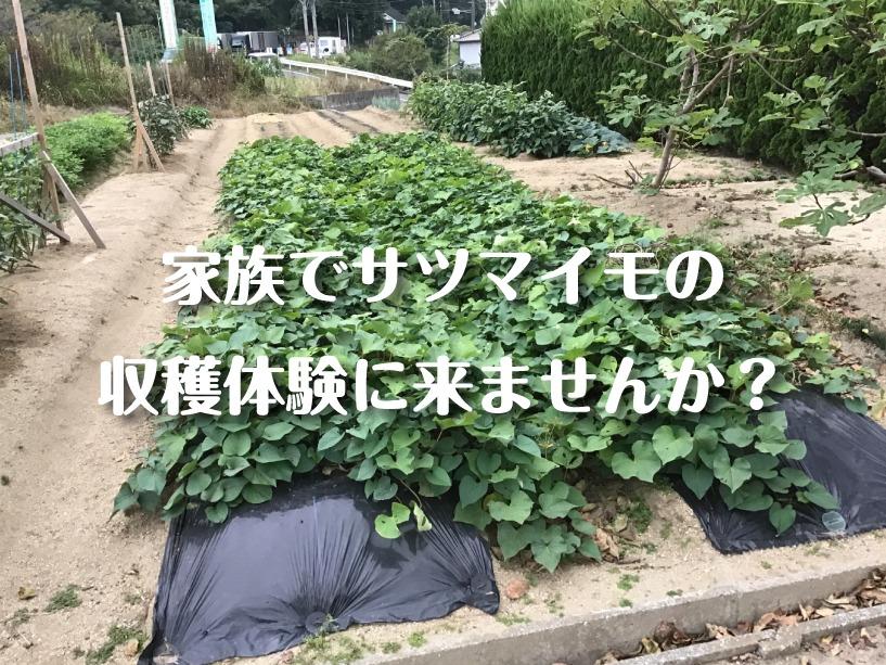 福山市サツマイモ収穫体験